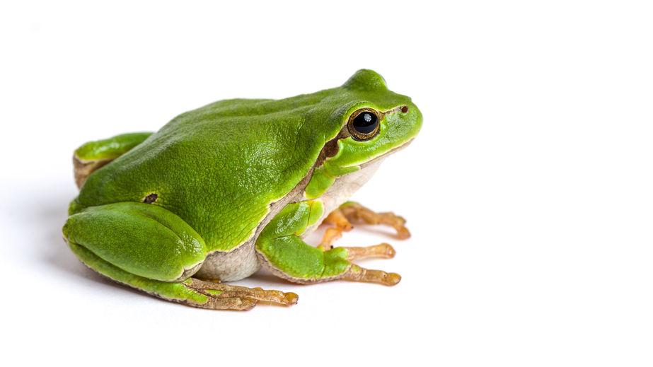 manger une grenouille